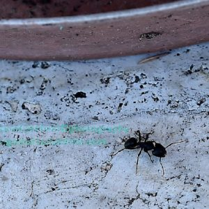 formica - ant