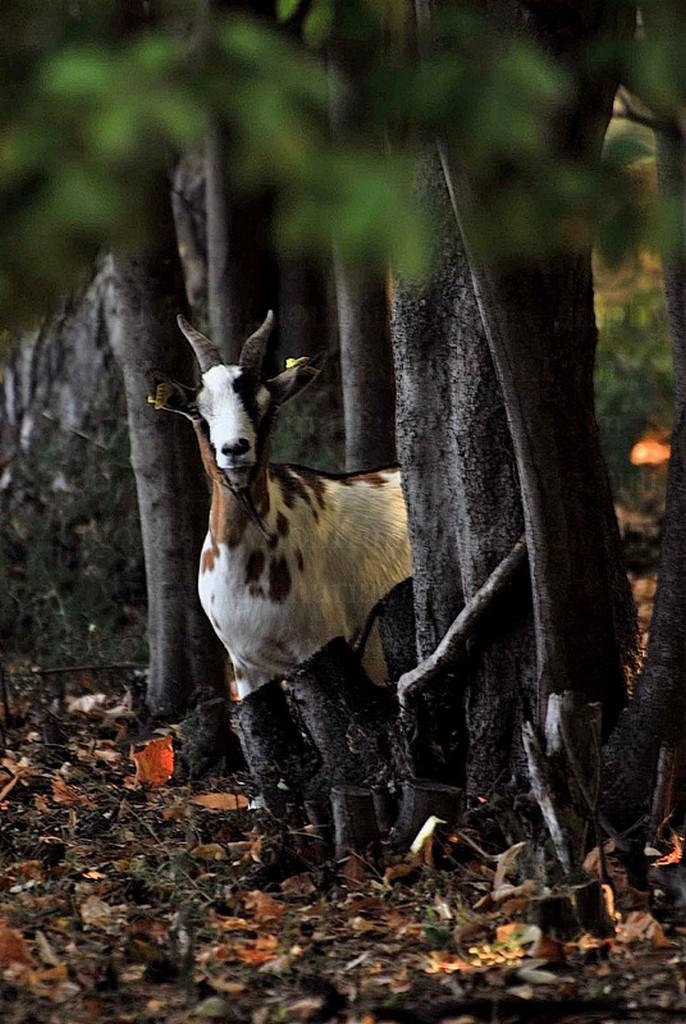 la Capra con ... gli stivali / the Goat with ... the boots