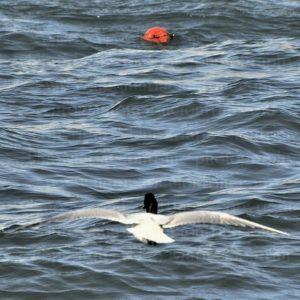 il GaGer ... (Gabbiano - Germano) / Seagull - mallard